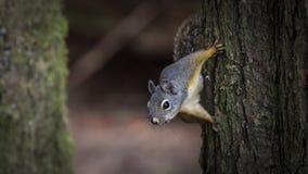 Ο σκίουρος κοιτάζει Στοκ φωτογραφίες με δικαίωμα ελεύθερης χρήσης