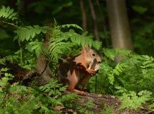 Ο σκίουρος μασά το κόκκαλο στοκ εικόνες