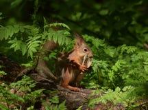 Ο σκίουρος μασά το κόκκαλο στοκ φωτογραφία