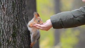 Ο σκίουρος παίρνει είναι τρώει από το χέρι απόθεμα βίντεο