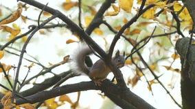 Ο σκίουρος πηδά, κάθεται στους κλάδους των δέντρων, κοιτάζει στο φακό ή η κάμερα, κλείνει επάνω Ο άγριος σκίουρος είναι άλμα, ψάχ φιλμ μικρού μήκους