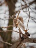 Ο σκίουρος πηδά deftly κατά μήκος των κλάδων στοκ φωτογραφία με δικαίωμα ελεύθερης χρήσης