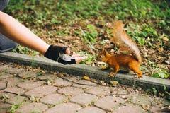 Ο σκίουρος που οργανώνεται στο χέρι σκέφτεται που μπορεί να φάει κάτι Στοκ Φωτογραφία