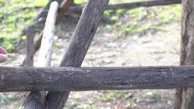Ο σκίουρος που περπατά βρίσκει τα τρόφιμα φιλμ μικρού μήκους