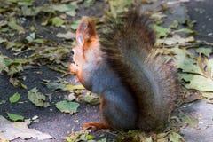 Ο σκίουρος που στέκεται μεταξύ των φτερών και βγάζει φύλλα Στοκ φωτογραφίες με δικαίωμα ελεύθερης χρήσης