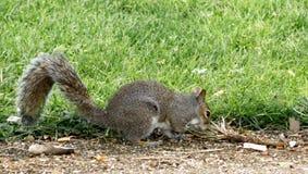 Ο σκίουρος προμηθεύει με ζωοτροφές για τα τρόφιμα στοκ εικόνα με δικαίωμα ελεύθερης χρήσης