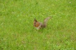 Ο σκίουρος ροκανίζει ένα καρύδι στη χλόη Στοκ Φωτογραφία