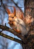 Ο σκίουρος σε ένα δέντρο πεύκων τρώει ένα καρύδι άγρια περιοχές ζώων Στοκ Φωτογραφίες