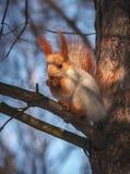 Ο σκίουρος σε ένα δέντρο πεύκων τρώει ένα καρύδι άγρια περιοχές ζώων Στοκ εικόνες με δικαίωμα ελεύθερης χρήσης