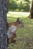 Ο σκίουρος σε ένα δέντρο σε έναν αστείο θέτει, meme στοκ εικόνα με δικαίωμα ελεύθερης χρήσης