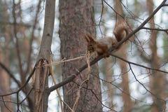 Ο σκίουρος σε ένα χειμερινό πάρκο συλλέγει μια θερμάστρα για τη φωλιά του Στοκ Εικόνες
