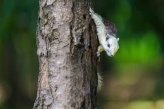 Ο σκίουρος στο δέντρο Στοκ Φωτογραφία