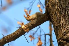 Ο σκίουρος Σκίουρος στο δέντρο Στοκ Εικόνα