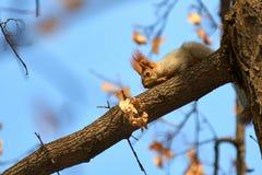 Ο σκίουρος Σκίουρος στο δέντρο Στοκ φωτογραφία με δικαίωμα ελεύθερης χρήσης