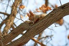 Ο σκίουρος Σκίουρος στο δέντρο Στοκ Εικόνες