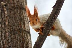 Ο σκίουρος Σκίουρος στο δέντρο Στοκ εικόνες με δικαίωμα ελεύθερης χρήσης