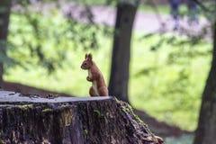 Ο σκίουρος στο κολόβωμα δέντρων Στοκ εικόνες με δικαίωμα ελεύθερης χρήσης