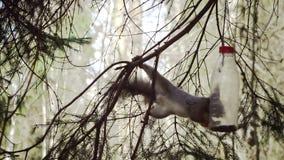Ο σκίουρος στο ξύλο τρώει από τη γούρνα σίτισης φιαγμένη από πλαστικό μπουκάλι φιλμ μικρού μήκους