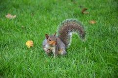 Ο σκίουρος στο πάρκο τρώει τα ψημένα φυστίκια Στοκ φωτογραφία με δικαίωμα ελεύθερης χρήσης