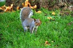 Ο σκίουρος στο πάρκο τρώει τα ψημένα φυστίκια Στοκ Φωτογραφία