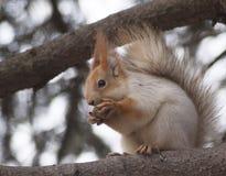 Ο σκίουρος τρώει ένα καρύδι Στοκ Εικόνες