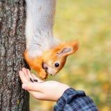 ο σκίουρος τρώει από το ξύλο στο δασικό άτομο Α ταΐζει έναν τετράγωνο Στοκ εικόνες με δικαίωμα ελεύθερης χρήσης