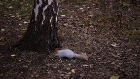 Ο σκίουρος τρώει τα καρύδια στο έδαφος κοντά στη σημύδα HD, 1920x1080, σε αργή κίνηση φιλμ μικρού μήκους