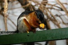 Ο σκίουρος τρώει τα φρούτα με ένα μεγάλο σχέδιο Στοκ Εικόνες