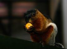 Ο σκίουρος τρώει τα φρούτα με ένα μεγάλο σχέδιο Στοκ φωτογραφία με δικαίωμα ελεύθερης χρήσης