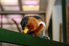 Ο σκίουρος τρώει τα φρούτα με ένα μεγάλο σχέδιο Στοκ εικόνα με δικαίωμα ελεύθερης χρήσης
