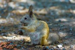 Ο σκίουρος τρώει τα φυστίκια καρυδιών, μπροστινό αριστερό φωτογραφιών, η ουρά που χαμηλώνουν στοκ εικόνες