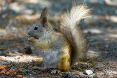 Ο σκίουρος τρώει τα φυστίκια καρυδιών, μπροστινό αριστερό φωτογραφιών, ουρά που αυξάνεται στοκ εικόνες με δικαίωμα ελεύθερης χρήσης