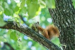 Ο σκίουρος τρώει τη συνεδρίαση φουντουκιών Στοκ φωτογραφία με δικαίωμα ελεύθερης χρήσης