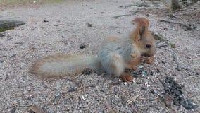 Ο σκίουρος τρώει τους σπόρους απόθεμα βίντεο