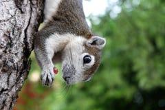 Ο σκίουρος τρώει το κόκκινο σταφύλι στην κάθετη γραμμή Στοκ εικόνες με δικαίωμα ελεύθερης χρήσης