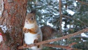 Ο σκίουρος φέρνει τους σπόρους από τον τροφοδότη και τους τρώει σε έναν κλάδο πεύκων φιλμ μικρού μήκους