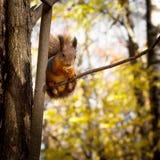 Ο σκίουρος, φθινόπωρο, ξεραίνει τα φύλλα Στοκ Φωτογραφία