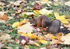Ο σκίουρος ψάχνει τα καρύδια στα πεσμένα φύλλα Στοκ φωτογραφία με δικαίωμα ελεύθερης χρήσης