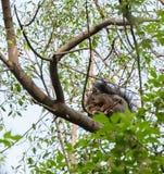 Ο σκίουρος Στοκ Εικόνα