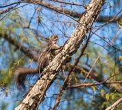 Ο σκίουρος Στοκ Φωτογραφία