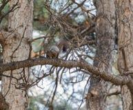 Ο σκίουρος Στοκ εικόνα με δικαίωμα ελεύθερης χρήσης