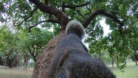 ο σκίουρος pallas 4k που περπατά και αισθάνεται περίεργος στον κλάδο ενός δάσους πάρκων δέντρων φιλμ μικρού μήκους
