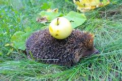 Ο σκαντζόχοιρος φέρνει το μήλο στην πλάτη Στοκ εικόνα με δικαίωμα ελεύθερης χρήσης