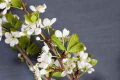 Ο σκούρο γκρι άνθρακας χρωματίζει το υπόβαθρο με τα λουλούδια Apple-δέντρων Στοκ Φωτογραφίες