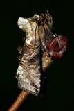 Ο σκώρος θεαμάτων (triplasia Abrostola) Στοκ εικόνες με δικαίωμα ελεύθερης χρήσης