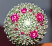 Ο στρογγυλός πράσινος κάκτος με τα ρόδινα λουλούδια, οφθαλμοί, κλείνει επάνω Στοκ Φωτογραφία