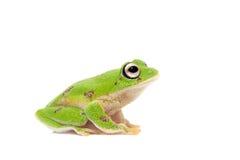 Ο στρογγυλός-round-snout pygmy βάτραχος στο λευκό Στοκ Εικόνα