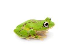 Ο στρογγυλός-round-snout pygmy βάτραχος στο λευκό Στοκ φωτογραφία με δικαίωμα ελεύθερης χρήσης
