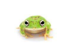 Ο στρογγυλός-round-snout pygmy βάτραχος στο λευκό Στοκ εικόνες με δικαίωμα ελεύθερης χρήσης
