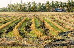 Ο συγκομισμένος χρόνος στον τομέα ρυζιού στοκ εικόνες